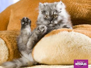обои Whiskas. кот лежит на мягких подушках фото