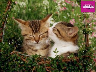 обои Whiskas. котенок и кошка в корзинке фото