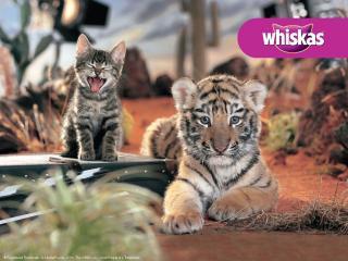 обои Whiskas. котенок и тигренок фото
