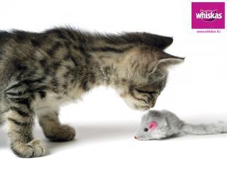 обои Whiskas. котенок нюхает игрушечного мышонка фото