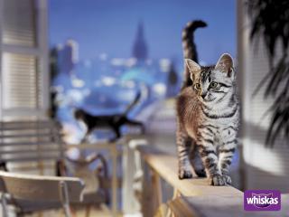 обои Whiskas. кошка гуляет по перилам фото