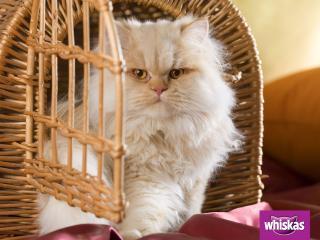 обои Whiskas. кошка смотрит из домика фото