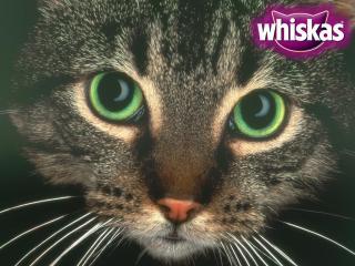 обои Whiskas. мордочка кошки фото