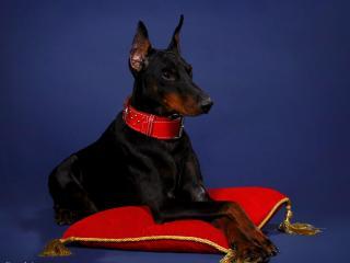 обои Royal Canine фото