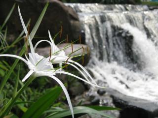 обои Цветы на фоне водопада (парк Жан Дьен, Южный Вьетнам) фото