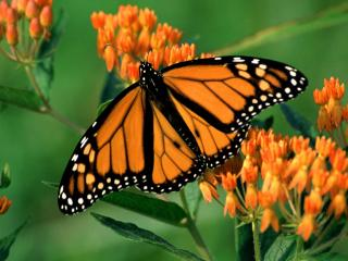 обои Бабочка-монарх фото