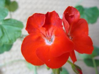 обои Красный цветочек фото