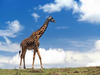 обои Гордый жираф фото