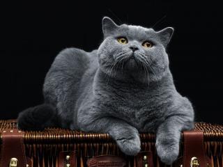 обои для рабочего стола: Британский кот