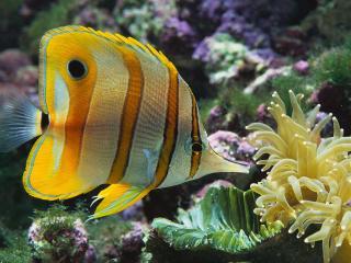 обои Красивая рыбка крупным планом фото