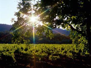обои Блик солнца в летнем дереве, над виноградником фото