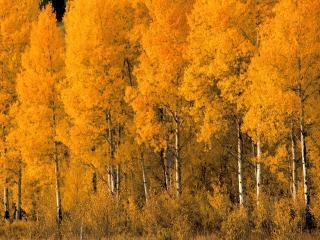 обои Aspen Trees, Montana фото