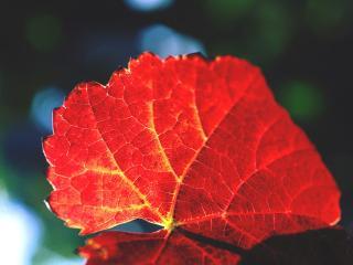 обои Красный осенний лист фото
