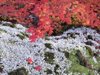 обои Autumn Vine Maple and Lichens фото