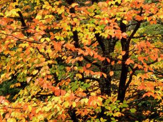 обои Beech Tree in Autumn, Washington Park, Portland Oregon фото