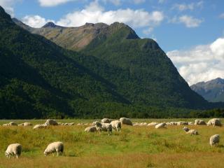 обои Пастбище овец фото