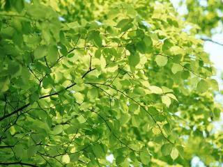 обои Густые листья на ветвях фото