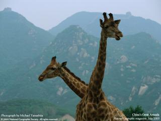 обои Два жирафа фото