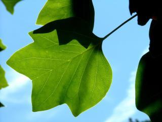 обои Зеленый лист на фоне неба фото